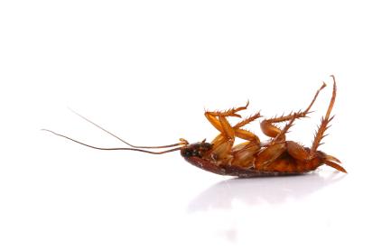 Homemade Roach Pest Control Pest Control