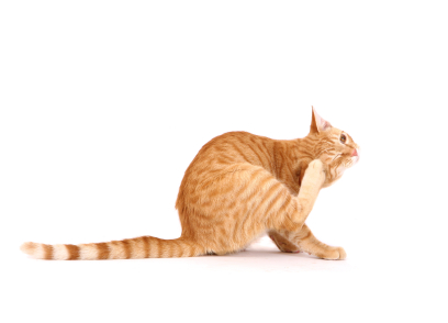 What Should I Do If My Cat Has Fleas Pest Control