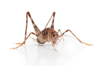 How to get Rid of Camel Crickets in your House