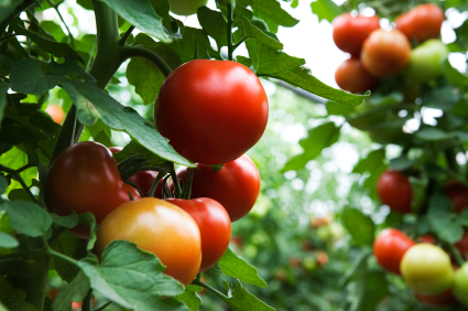 How to Keep Bugs from Eating Tomato Plants Pest Control