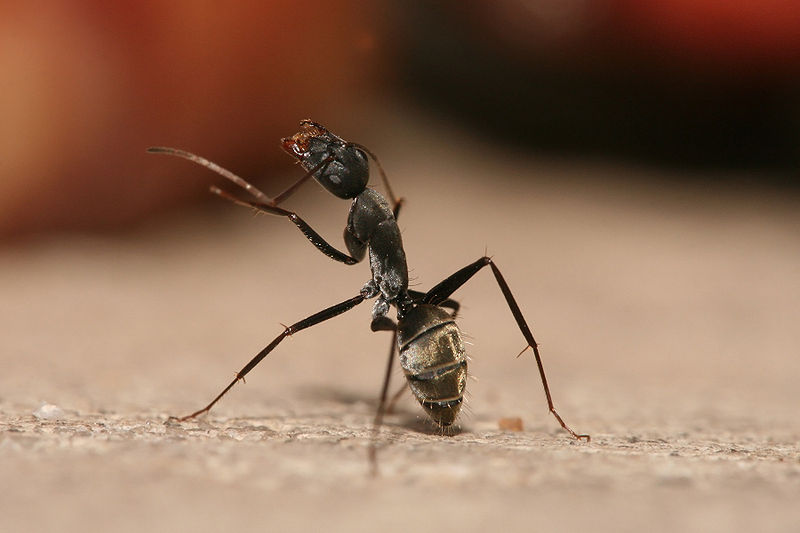 Get Rid of Carpenter Ants in the House