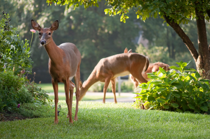 How to Keep Deer off Lawn