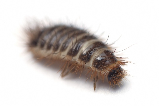 Safe Ways to Kill Carpet Beetles