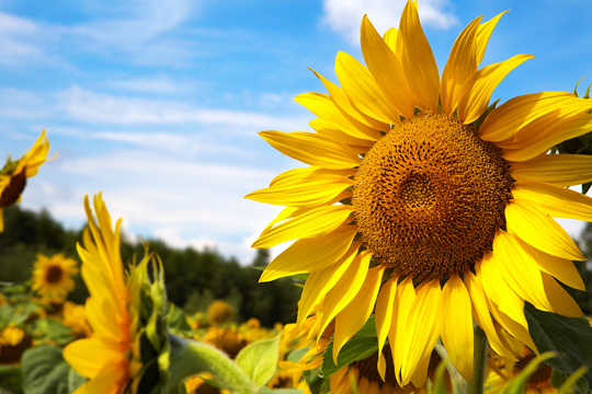 Best Conditions For Growing Sunflowers