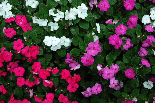Names of perennial flowers new house designs common perennial flowers landscapers talk local blog mightylinksfo