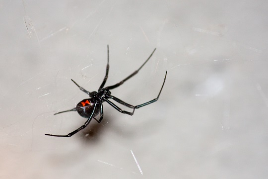 North American Poisonous Spiders