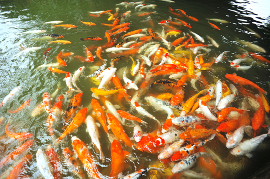 Are koi ponds expensive landscapers talk local blog for Expensive koi fish