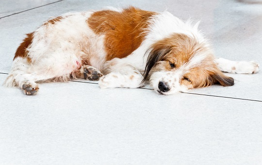 Tapeworm Treatment for Dogs - Veterinarians