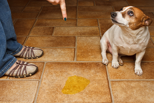 Get Dog Urine Smell Out Of Carpet Cleaners Talk