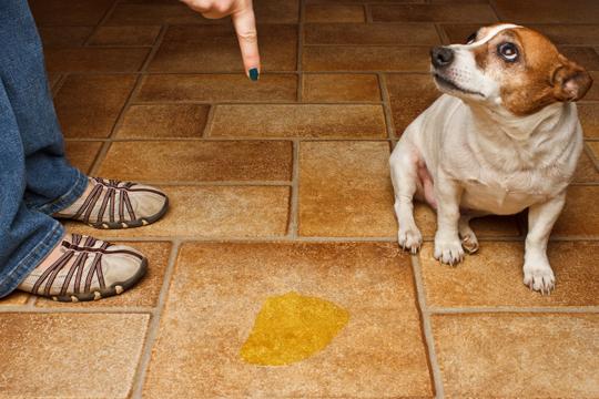Get Dog Urine Smell Out Of Carpet