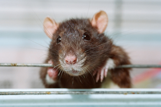 What Do Pet Rats Eat?