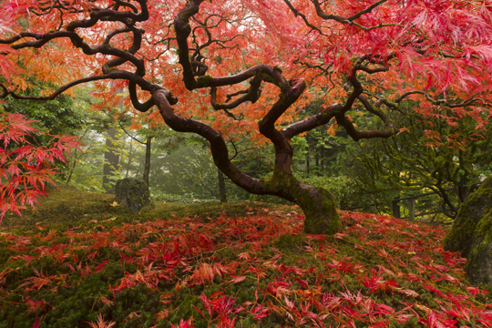 Caring For A Japanese Maple