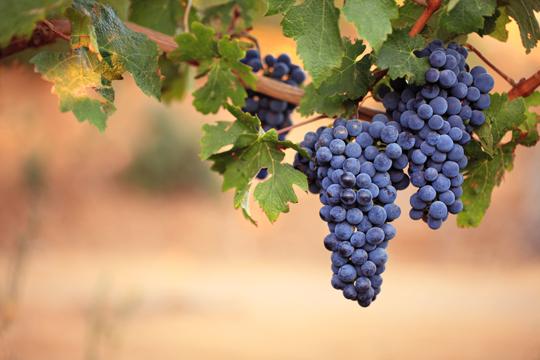 Growing Fruit Vines