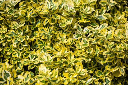Types Of Evergreen Shrubs Landscapers Talk Local Blog Talk