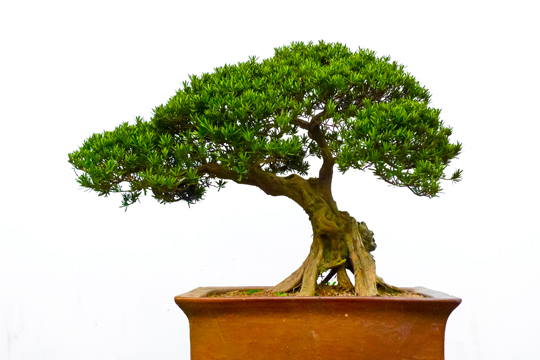 Bonsai Tree Types