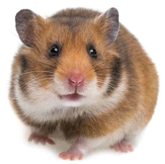 How to Care for Rodents - Veterinarians