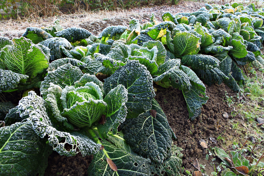Unique Prepare Your Vegetable Garden Before Winter Arrives  Talklocal  With Lovely Prepare Your Vegetable Garden Before Winter Arrives With Extraordinary Bens Cookies Covent Garden Also Fern Gardens In Addition Garden Stake And Properties In Welwyn Garden City As Well As Garden By The Lake Additionally Elevated Garden Bed Designs From Talklocalcom With   Lovely Prepare Your Vegetable Garden Before Winter Arrives  Talklocal  With Extraordinary Prepare Your Vegetable Garden Before Winter Arrives And Unique Bens Cookies Covent Garden Also Fern Gardens In Addition Garden Stake From Talklocalcom